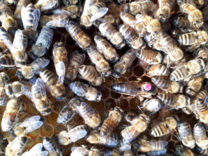 Bienen und Königin auf einer Wabe