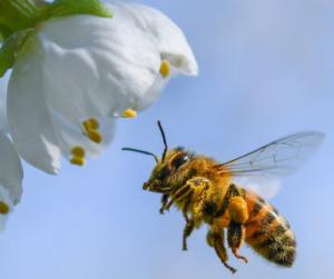 Glyphosat verantwortlich für Bienensterben