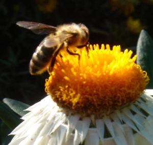 strengere Regularien zum Schutz der Biene