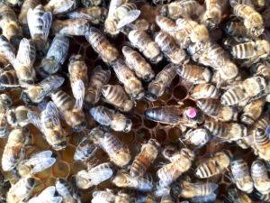 Bienen und Varroa