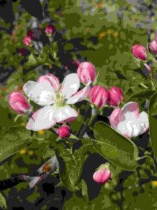 CIPRA - Apfelblüte