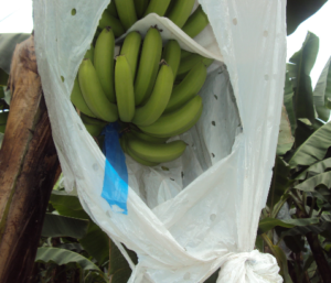 Bananenproduktion in Ecuador