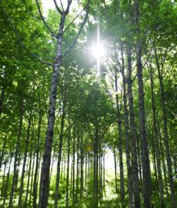 Bäume könnten das Klima retten