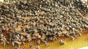 Pestizide und Varroamilbe tötet Bienen